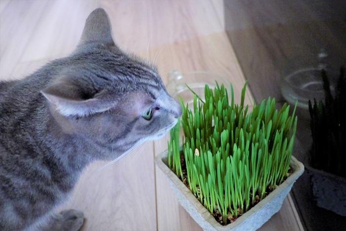 猫草を与える年齢に決まったルールはありません。まだ固形のフードを食べられないような仔猫には与えないようにしましょう。  猫草を与えるなら、ある程度成猫になってからの方が安心です。  猫草の与え方 猫によってはおもしろがって食べないのにかじって散らかしたり、おもちゃにしたり、と遊ぶこともあります。または、のべつまくなしに食べ続ける猫もいます。時間を決めるなどルールを作って上手に与えましょう。  また、猫草の鉢を床に置いておいても見向きもしないのに、摘んでから差し出すと食べる猫もいます。いろんなコミュニケーションを楽しんでみてください。