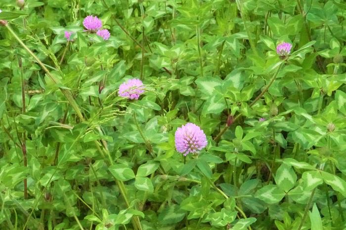 科名:マメ科 開花期:4月~7月(環境が合えば四季咲き) 分類:多年草 アカツメクサ(赤詰草)はマメ科の多年草です。日当たりの良い河原や空地など、様々場所で見かけます。ムラサキツメクサ(紫詰草)とも呼ばれます。シロツメクサと呼ばれるクローバーよりは草丈が高く、花が大きいのが特徴です。