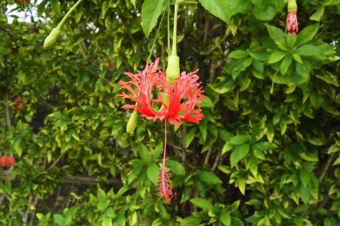 科名:アオイ科 開花期:5月~10月 分類:非耐寒性常緑低木 フウリンブッソウゲは、反り返った花びらが特徴のハイビスカスの仲間の花です。名前の由来は、花の形状が風鈴に似ているからだとされています。フウリンブッソウゲは寒さに弱く地植えに不向きですが、沖縄など暖地では庭木として育てられます。