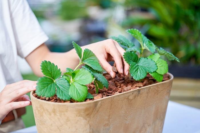 イチゴのプランター栽培!用意するもの