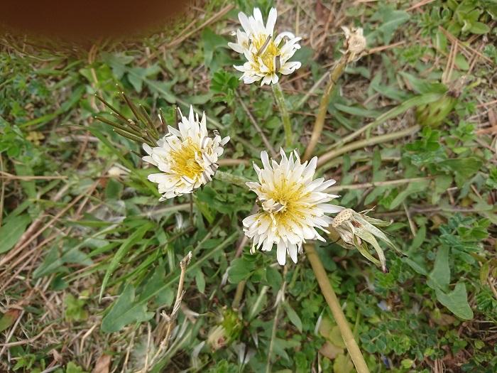 シロハナタンポポは関西より南の地域に多く生育しています。地方によってはシロハナタンポポのほうが優勢で「タンポポの花と言えば白!」という地域もあるようです。最近では関東でもシロハナタンポポを見かけることが多くなってきました。