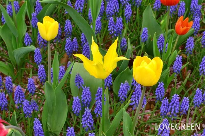 チューリップは秋に植えて春に花を楽しむ球根植物です。春2月くらいになると地面からにゅっとグリーンの芽が顔を出します。