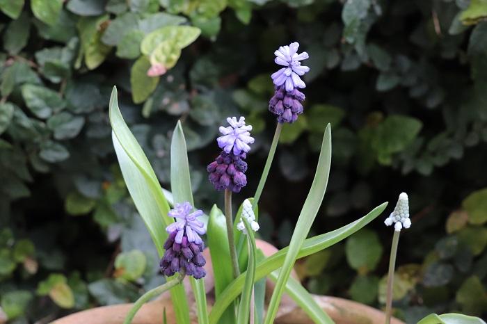 このように、水色と紫など二色咲きのムスカリもあります。  ムスカリの葉は、だらしなく伸びてしまって可愛さが半減してしまうこともありがちですが、品種によっては葉がピシッと上を向いてすっきりとまとまるタイプも出回っています。寄せ植えに使うときは、他の花の邪魔にならないすっきりした葉を持つムスカリが使いやすいです。