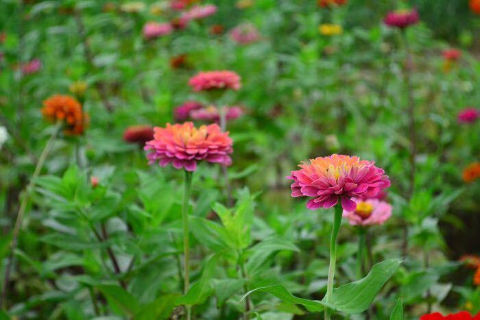 ジニアは和名を百日草というくらい花期が長く、真夏も休まず100日近くも花を咲かせ続ける草花です。ジニアは大輪から小花まで品種が豊富で、さらに鮮やかな原色からニュアンスカラーのものまで花色もたくさんあります。