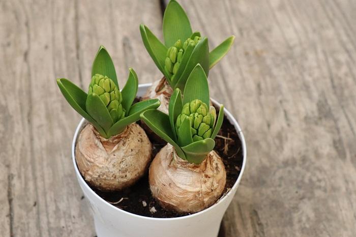ヒヤシンスの花期は3月~4月頃です。2月頃に写真のように蕾がまだ固く閉じている苗を選んでゆっくり観察しながら育てると、寒い時期も春を待つワクワクした気持ちが楽しめます。ヒヤシンスは屋外でも室内でも育てることができますが、寒い外で育てると芽吹きから開花までのスピードが遅いので長い期間花を観賞できておすすめです。