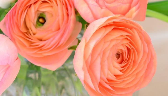 ラナンキュラスは、幾重にも重なった繊細な花びらが魅力的な球根植物。アネモネと同様にとても華やかで切り花としても人気が高い花です。品種改良が進み、花色や花の形も変化に富んでいます。花色は、白、ピンク、赤、紫、黄色、オレンジ、アプリコット色、複色などがあります。  ラナンキュラスの花は5月頃まで咲きます。ラナンキュラスは花後そのまま植えっぱなしにしておくと球根が腐ってしまったり、球根の栄養を使ってしまいます。花が終わったら枯れた花茎を根元から切り、葉が枯れ始めるまでしっかりと光合成させましょう。葉が枯れてきたら掘り上げ、乾燥させて風通しの良い冷暗所で保管し、秋に植え付けます。