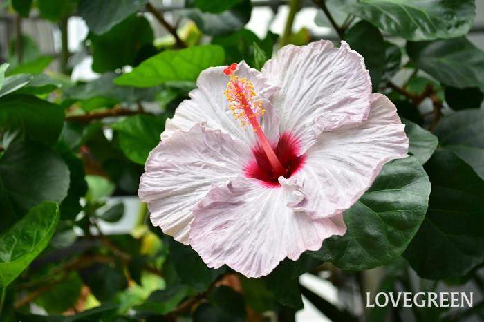 夏の花と言えばハイビスカス。世界の熱帯~亜熱帯地方で栽培されています。日本では鉢植えで楽しむのが一般的ですが、暖かい地域では庭木としても利用されてます。花の開花期間も長く、赤・ピンク・黄色・白などカラーバリエーションも豊富で、花の大きさも小さいものから大きいものまであり、その品種数は数えきれないほどです。ハイビスカスの花は、朝開いて夜に閉じる1日花ですが、最近は品種改良で1つの花が2~3日咲くハイビスカスも登場しています。