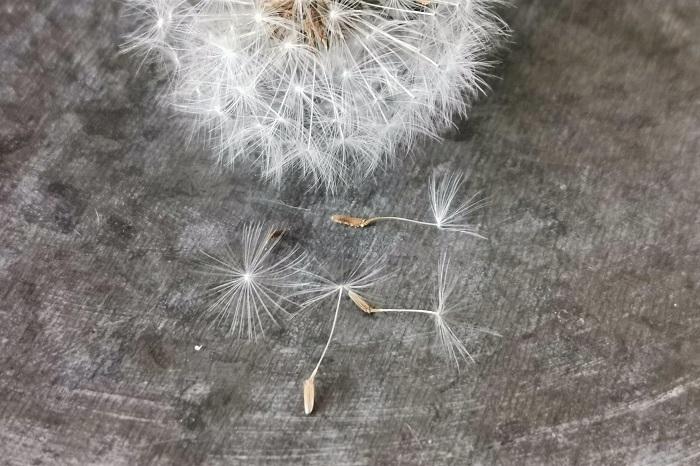 タンポポの綿毛は実はタネ
