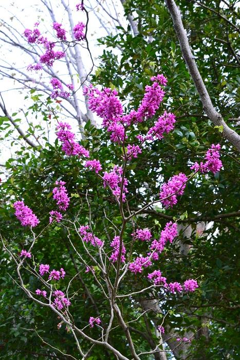 手入れが簡単なことから、庭木の他、公園などにもよく植栽されています。ハナズオウの種類は、ピンクの他、白花種や、葉が斑入りなどの品種もあります。  木は直立して生長するので枝が広がらないことから、比較的狭いスペースでも育てることができます。低木のシンボルツリーとしてもよく利用されます。