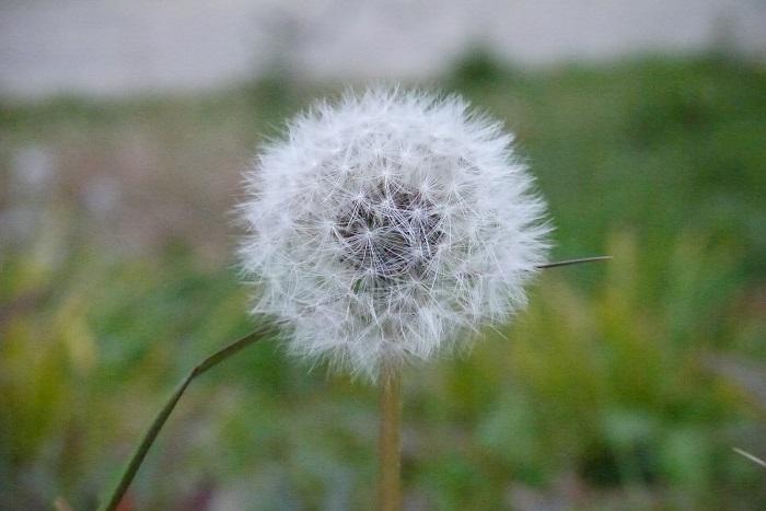 丸くふわふわとしたタンポポの綿毛の魅力は筆舌に尽くしがたいものがあります。