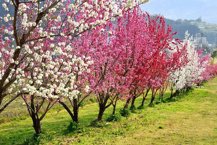 桃の特徴 桃は春に花を咲かせ、夏に甘く瑞々しい果実を実らせる落葉高木です。桃には、果実の収穫よりも花を愛でることを目的に育てるハナモモがあります。桃の花はピンクの他に白花もあります。