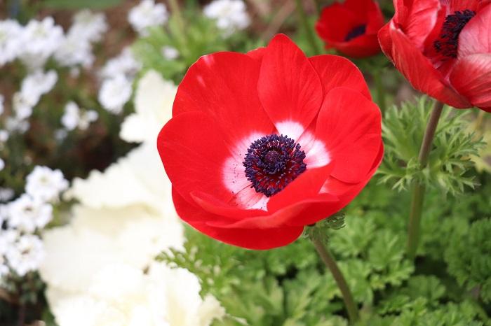赤色のアネモネは元気いっぱいの明るさが魅力です。遠くから見ても見栄えすることから、広い花壇などにも用いられます。  アネモネは色別に花言葉があるので、花言葉を知ったうえで育てるのも楽しいですね。