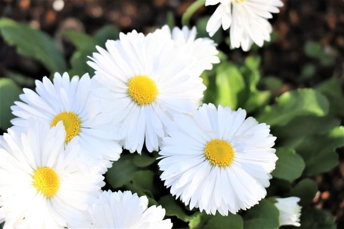 デージーは、冬から春に可愛い八重咲きの花(花径2㎝~6㎝ほど)を咲かせます。花色は白、ピンク、紅色、絞りの入ったものがあります。夏の暑さに弱いため、日本では秋まき一年草として栽培されています。
