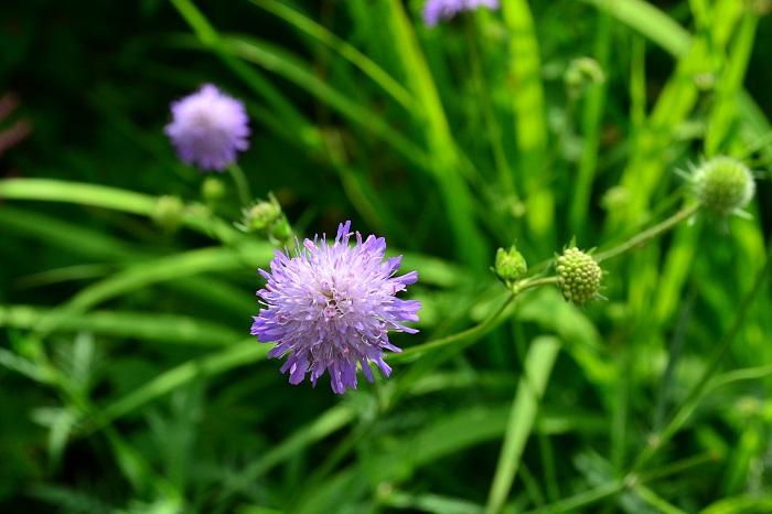 華奢な花茎に先端に何とも言えない可愛らしい花を咲かせるスカビオサ。春の風にそよぐ姿も魅力です。