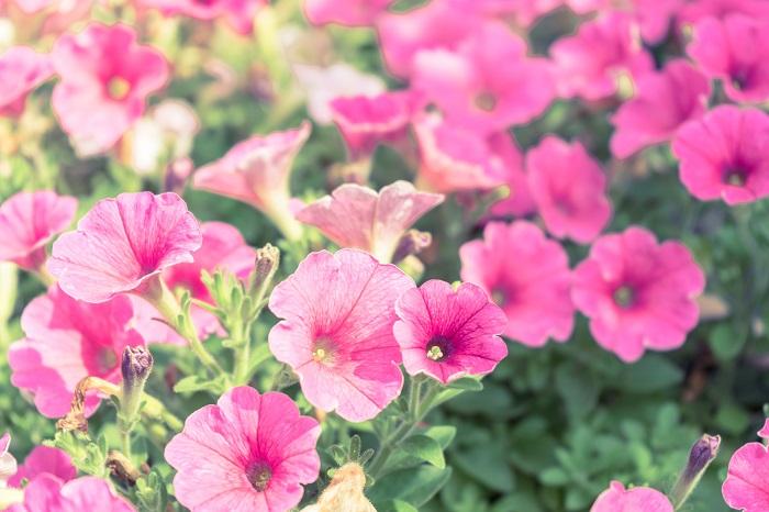 夏に鮮やかな花を咲かせるペチュニア。とても丈夫で、花色も豊富なので、夏の花壇で大活躍してくれます。