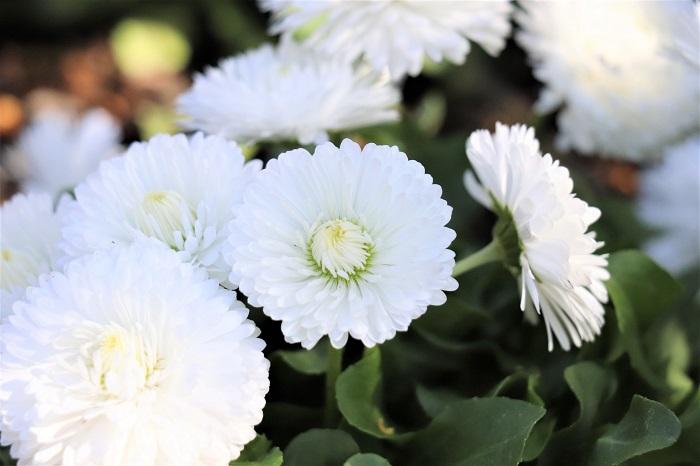 デージーは、光を受けたときに花を開いて黄色い花芯を見せる性質があります。この写真は花が閉じている様子です。そのような性質や、太陽のような花の形からデイズ・アイ(太陽の眼)と呼ばれ、デージーという名が付けられたそうです。花が閉じている時と開いているときの印象が全然違って面白いですね。