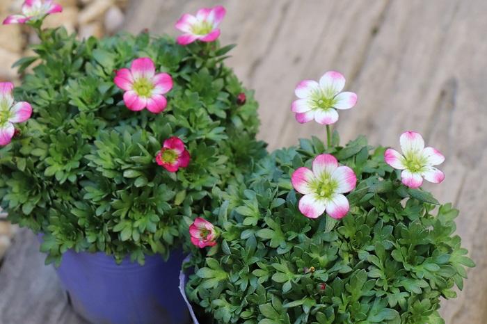 クモマグサ(雲間草)は、春に花茎を伸ばしてピンクや白、赤などの小さな可愛い花(花径1.5㎝ほど)を次々と咲かせる多年草。株がこんもりと茂ります。最近ではライムカラーの葉を持つものや、斑入りの品種も流通しています。