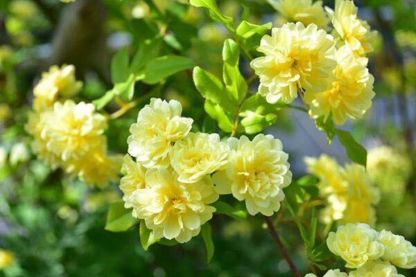 カスタードクリームのような淡い黄色が印象的なモッコウバラは、原種のバラです。満開の季節には優しい香りを思いっきり楽しめます。花色は黄色の他に白があります。