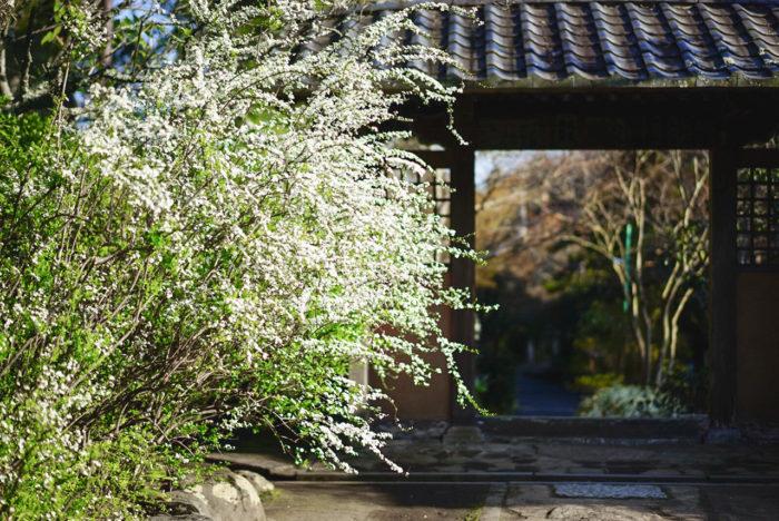 私は、ユキヤナギが大好きで、去年は鎌倉でユキヤナギを見に、扇ケ谷の海蔵寺を訪れました。「花寺」として有名なところです。