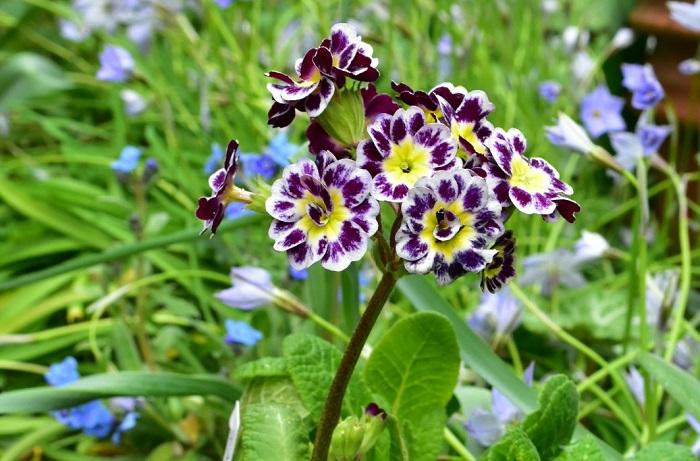 プリムラの花の咲く季節は春です。春と一口に言っても早春から初夏までと、品種により大きく幅があります。  プリムラ・ジュリアンやプリムラ・マラコイデスなどは1月~2月に流通し始め、まだ寒い時期から可憐な花を咲かせます。サクラソウやクリンソウなどは、4月~5月頃に開花します。