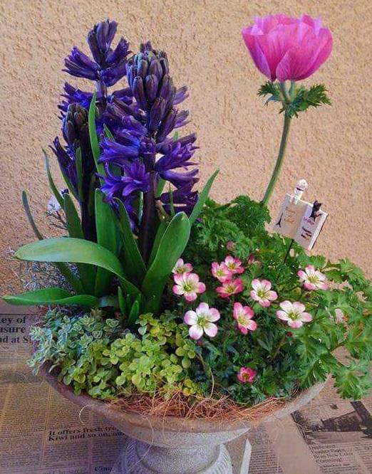 アネモネとヒヤシンスの芽出し球根が開花すると、こんなに華やかな雰囲気に変わります。ヒヤシンスの爽やかな甘い香りも漂って開花の喜びも倍増です。  寄せ植えに使った草花  アネモネ ヒヤシンス クモマグサ セダム2種 クッションブッシュ(プラチーナ)
