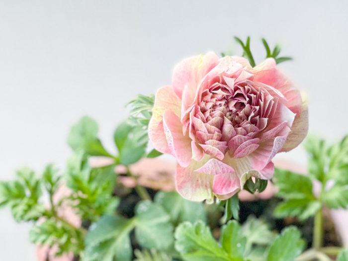 ギリシャ語で「風」という意味を持つアネモネは風通しの良いところでよく育ちます。窒素分を与えると葉がよく茂りますが、花が咲かなくなる事もあるので要注意。花は摘んで切り花としても楽しむことができます。