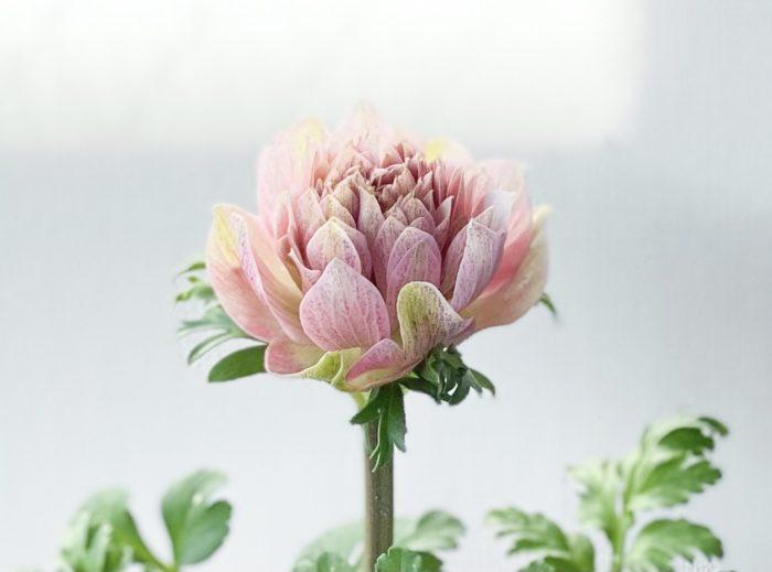 語源はギリシア語の「風」。生けてからも、時間や気温によって表情が変わってきます。一重咲き、半八重咲き、八重咲きなど品種が豊富です。特徴はパセリのような葉と大きなしべ。購入する際はガクが透け感がないものを選びましょう。