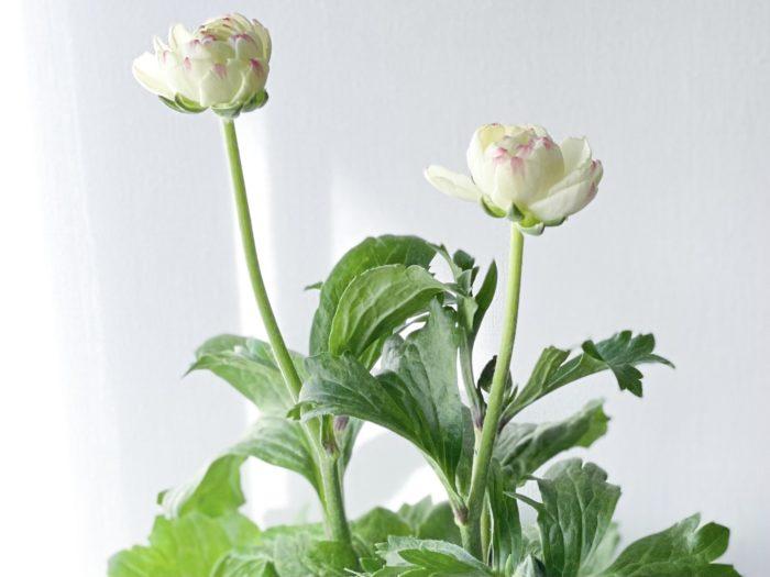 元は一重咲きだったものが品種改良され、今では八重咲きの花が主流になったラナンキュラス。華やかで、寄せ植えの主役にもぴったりです。花が腐りやすいので、花がらは早めに摘み取りましょう。水やりは花や葉に当たらないよう、株元に与えましょう。