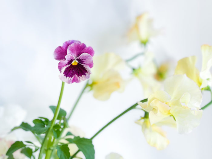 ガーデン用の花苗として人気のパンジー。丈が長い品種は切り花としても流通しています。茎は空洞で折れやすいので丁寧に扱いましょう。
