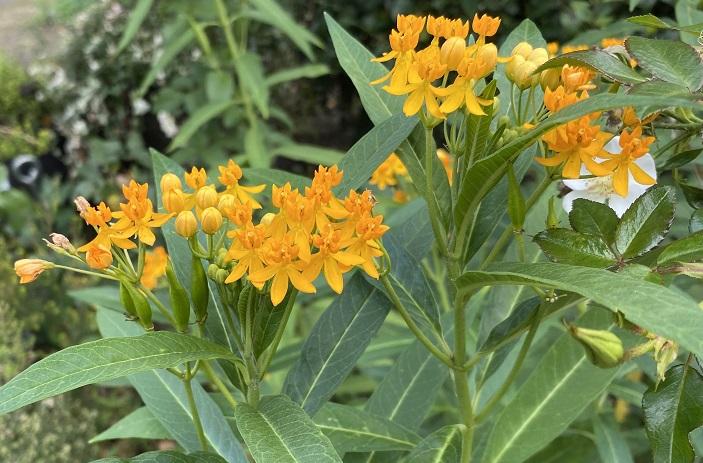 アスクレピアス・ツベロサは、アスクレピアスの中でも耐寒性の強い品種です。一度植え付けると、植えっぱなしで毎年楽しめます。花は初夏から咲き始め、秋まで長く開花します。