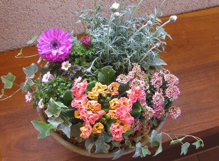 クモマグサ(雲間草)は高山の岩場などに自生している植物なので、寒さに強く暑さや蒸れに弱い性質があります。寒冷地以外では一年草扱いされることが多いですが、梅雨や夏を上手に越すことができれば周年楽しめます。