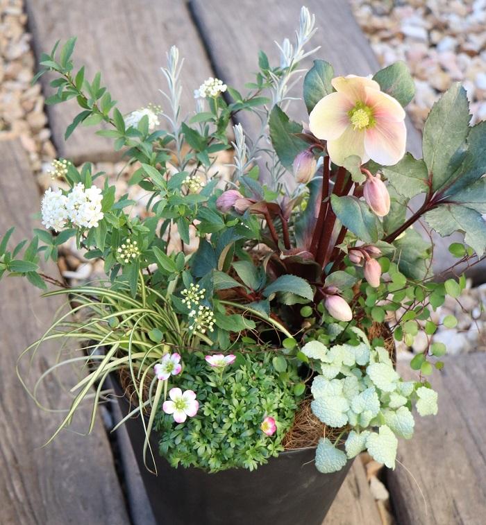 「1月の寄せ植えに使いたい花11選」でも紹介したクリスマスローズですが、もちろん2月も使いたい花苗です。  クリスマスローズは花びらに見える部分は実はガクで、本当の花はガクの中心部分。花は終わってもガクはいつまでも残るので、ガク(学)が落ちない=合格する!という意味で合格の花と呼ばれることもあるとか。美しいだけでなく、受験生も応援してくれる花と思うとさらに愛着がわきますね。  寄せ植えに使った草花  クリスマスローズ コデマリ クモマグサ エレモフィラ ラミウム カレックス ワイヤープランツ