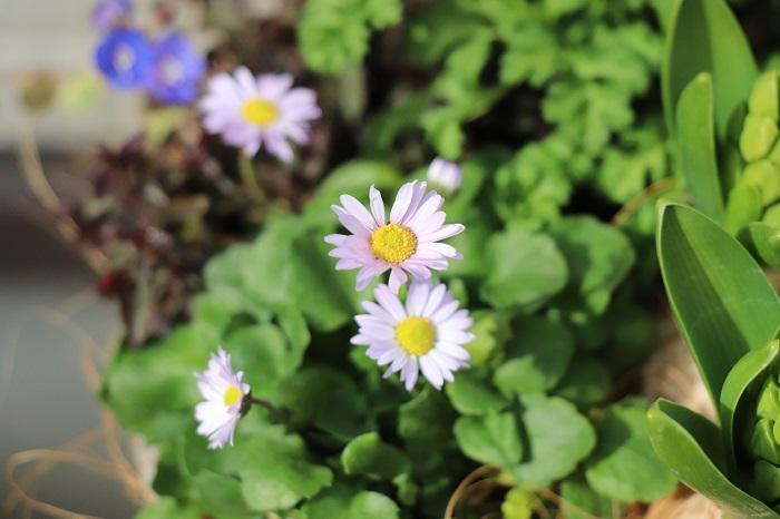 イングリッシュデージーは、メインの花というよりは、メインを引き立てて全体を優しく調和させてくれる花です。イングリッシュデージーような「控え目だけどよく見るととても可愛い小花」は、メインの邪魔をすることなく大切なアクセントとなって大活躍します。
