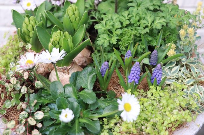 置く場所 寄せ植えは屋外の風通しの良い日なたに置きます。日があまり当たらないと、花が咲きにくくなります。  水やり・肥料 土が乾いたら株元に水を与えましょう。寒い時期は土の乾きが遅いので2~3日に1度水やりする程度でも育ちます。雨にあたった日は水やりしません。土が凍ってしまわないように、水やりはできるだけ日中の暖かい時間帯に行います。  植え付けるときに肥料入りの培養土を使った場合は、1カ月後から液肥や固形肥料を与えましょう。  花がら取り 咲き終わった花(花がら)や古い葉は、見た目も悪く病害虫の発生も促すので早めに取り除きます。花がらを取ることで、次の花が咲きやすくなります。  冬越しと花後の管理 今回紹介した春まで咲く花苗を使った寄せ植えは、温暖地では屋外で楽しむことができます。日当たりの良い場所に置き、雪が降ったり霜がとても強い場合は軒下に移動させるなどの対策をすると状態良く育ちます。  アネモネ、ラナンキュラス、ヒヤシンスなどの球根を来年も咲かせたい場合は、花後にそれぞれに適した方法で保管して秋に植え付けましょう。
