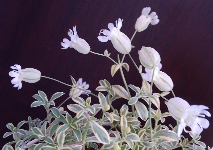 シレネ・ユニフローラは春、伸びた茎の先に釣鐘状の可愛い花を咲かせます。耐寒性があるので温暖地では戸外で冬越しできますが、夏の高温多湿に弱い性質があるので夏になる前に半日陰の涼しい場所に移動させて夏越しさせましょう。