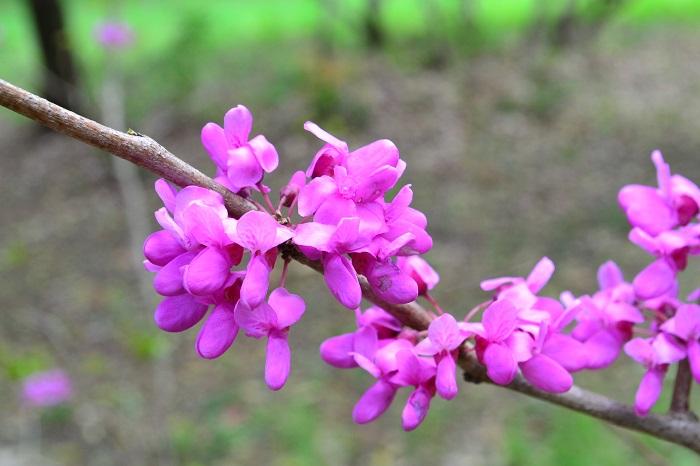 学名:Cercis chinensis 科名:ジャケツイバラ科 分類:落葉低木、高木 開花期:4月 ハナズオウの特徴 ハナズオウは春に小さな濃いピンク色の花を枝いっぱいに咲かせる可愛らしい庭木です。マメ科の樹木なので、花が終わった後には小さなマメが枝いっぱいにぶら下がります。ハナズオウは他に白花種もあります。