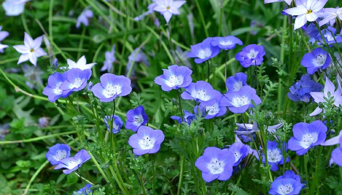 ネモフィラは明るいブルーの花が可愛らしい春の花です。草丈低く横に株が膨らんでいくので、花壇の手前に植えるとよいです。