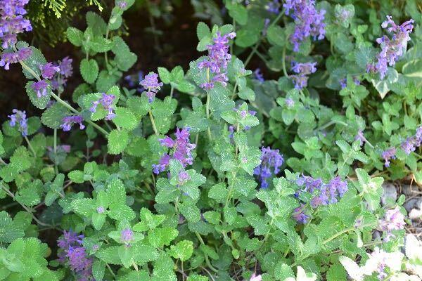 キャットミントは夏に涼し気な花を咲かせるハーブです。株で横に広がるように大きくなります。ハーブとして利用されるのはキャットニップという種類です。
