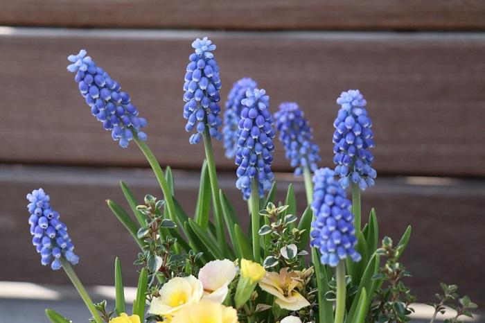 ムスカリは、小さなブドウのような花を咲かせる球根植物です。花期は3月~5月頃で、一度植えると数年植えっぱなしでも毎年花が咲きます。花が咲き終わったら種ができ始めるので、種ができる前に花茎を株元からカットしましょう。
