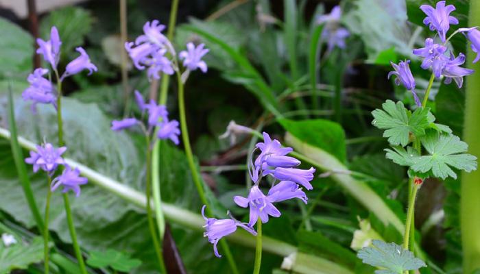 シラーは俯くように釣り鐘型の花を咲かせる球根植物です。花色にはピンクやブルーがあります。秋植え春咲きの球根植物です。