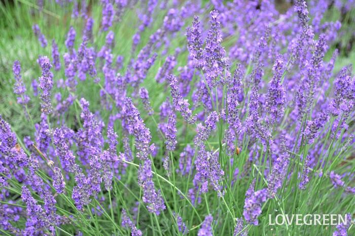 人気のハーブ、ラベンダー。初夏になると、たくさんの花茎を伸ばして開花します。ラベンダーは種類がとても豊富なハーブのひとつ。イングリッシュ系、フレンチ系など、系統によって花の形が違います。