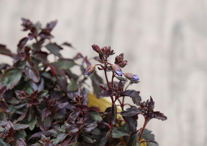 ベロニカ・オックスフォードブルーの葉は常緑で、冬になると美しい銅葉色になります。緑色の葉が多い寄せ植えの中に銅葉色のカラーリーフを加えると、全体がかっこよく引き締まって見えます。春に咲くブルーの花も寄せ植えのアクセントになります。