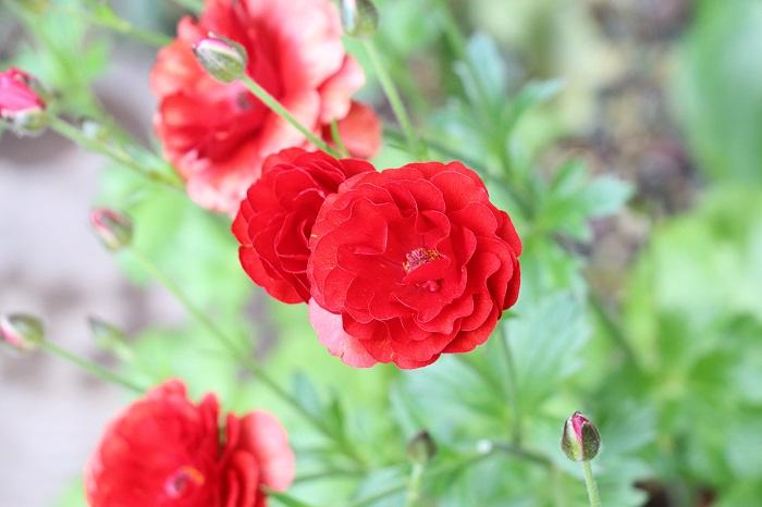 ラックスシリーズは、花びらがキラキラ光って見える品種のラナンキュラス。咲き方がスプレー咲きなので、一株でたくさんの花を楽しめます。普通のラナンキュラスの球根は、翌年もきれいな花を咲かせるためには花後に掘り上げなければならないのですが、ラックスシリーズのラナンキュラスは植えっぱなしでも毎年咲くのも嬉しい特長です。  草丈が高いので、寄せ植えに使うのであればある程度大きくて深さもある鉢に植えるとバランスよく仕上がります。