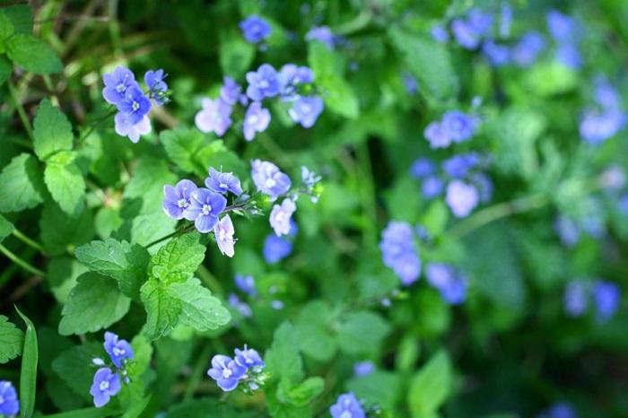 ベロニカ・オックスフォードブルーは地面を這うように生長し、とても丈夫でグランドカバーにも向いている植物です。春にブルーの小花を無数に咲かせます。