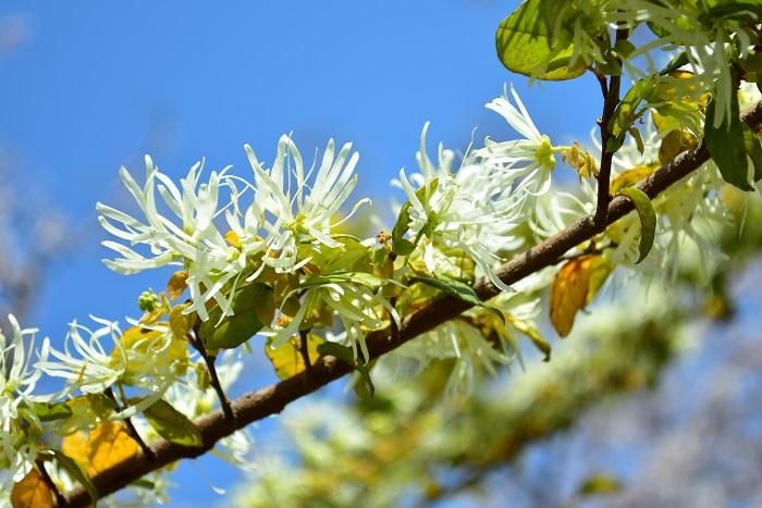 トキワマンサクの花は、4月から5月に枝一面の花を開花させます。