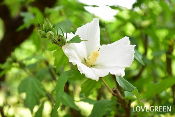 夏の花 ムクゲ