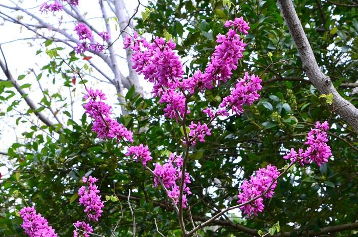 ハナズオウはマメ科ハナズオウ属の落葉樹です。4月に葉より先に小さな花を枝一面に密集して咲かせ、葉は花が終わったあとにハート型のかわいらしい葉が芽吹きます。花の後には種のサヤができて、緑色から褐色に変化し、春先まで枝に残ります。葉は秋になると黄葉した後、落葉します。  暑さ、寒さにも強く、手入れが簡単なことから、庭木の他、公園などにもよく植栽されています。ハナズオウの種類は、ピンクの他、白花種や、葉が斑入りなどの品種もあります。  木は直立して生長するので枝が広がらないことから、比較的狭いスペースでも育てることができます。低木のシンボルツリーとしても利用されます。