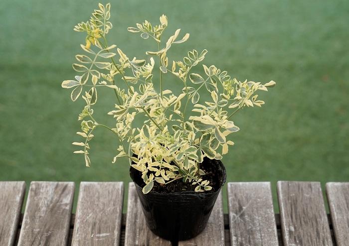 コロニラ・バレンティナバリエガータは伸びやかに細い枝を伸ばし、3月~5月頃に黄色い小花を咲かせます。葉に白い斑が入っているのでとても明るい印象です。