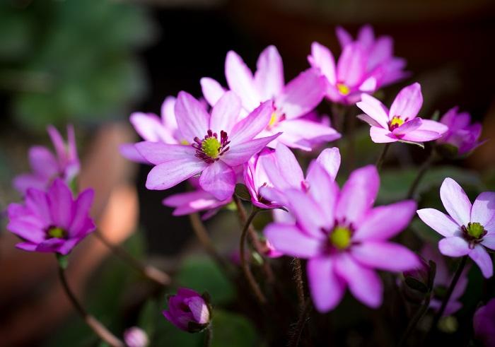 ミスミソウ(雪割草)は日本原産の多年草で、主に雪が積もる地域に咲きます。2月のまだ寒い頃に花を咲かせて春を告げる花と言われ、まるで妖精のように可憐な姿をしています。早春に雪を割るようにして花を咲かせることから「雪割草(ユキワリソウ)」とも呼ばれています。