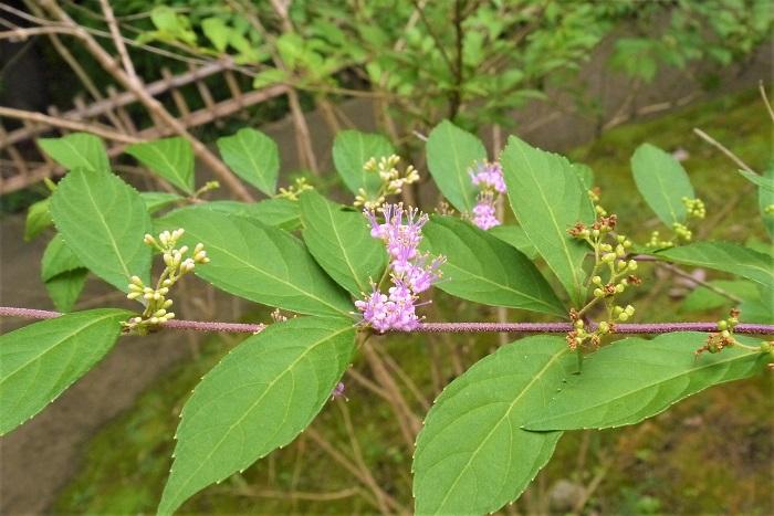 コムラサキの特徴 コムラサキは夏に淡いピンク色の花を咲かせ、秋には紫色の実をつける落葉低木です。ムラサキシキブと混同されがちですが、コムラサキの方が実の数が多いのが特徴です。